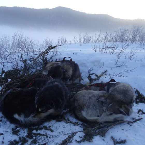 Odyssee-Sauvage-35-Semaine-17-fevrier-2014-Chiens-NVanier-TAIGA
