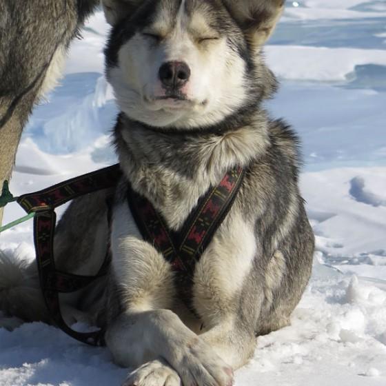 Odyssee-Sauvage-7-10-mars-Chiens-Baikal-NVanier-TAIGA