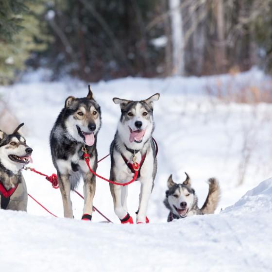 Yukon-Quest-16-etape-Fairbanks-19-fevrier-2015-Julien-Schroeder