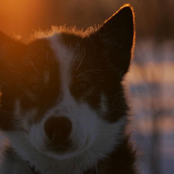 chiens11-odyssee-siberienne-TBranquart