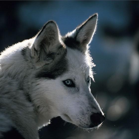 chiens23-Passion-du-grand-froid-NVanier