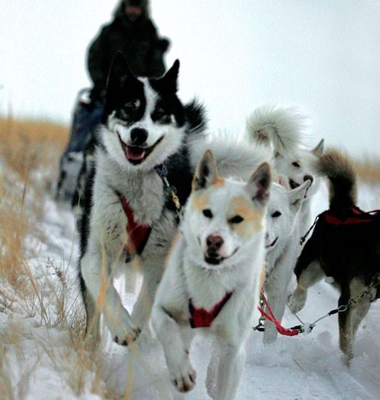 chiens3-odyssee-siberienne-TBranquart