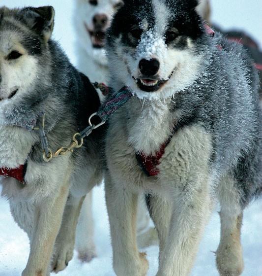 chiens5-odyssee-siberienne-TBranquart