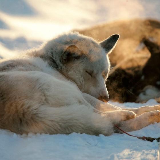 chiens7-odyssee-siberienne-TBranquart