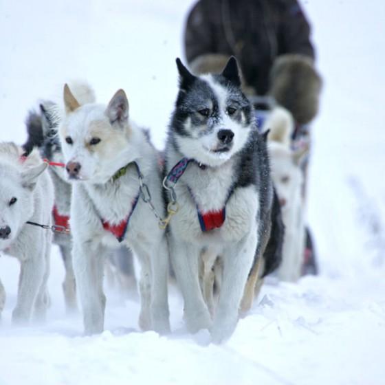 chiens9-odyssee-siberienne-TBranquart